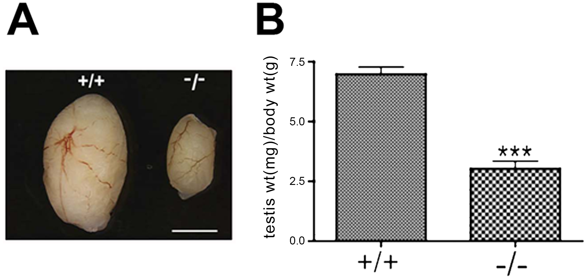 <i>Chtf18</i><sup>−/−</sup> testes are significantly smaller than those of wild-type mice.
