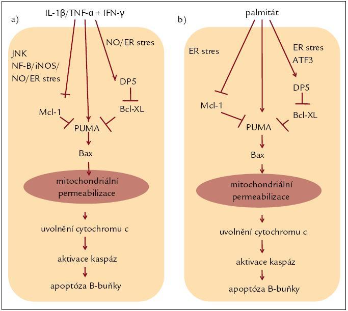 Kaskáda reakcí vedoucích k apoptóze B-buňky indukovaná cytokiny při diabetu 1. typu (a) a palmitátem při diabetu 2. typu (b). Upraveno podle [4].