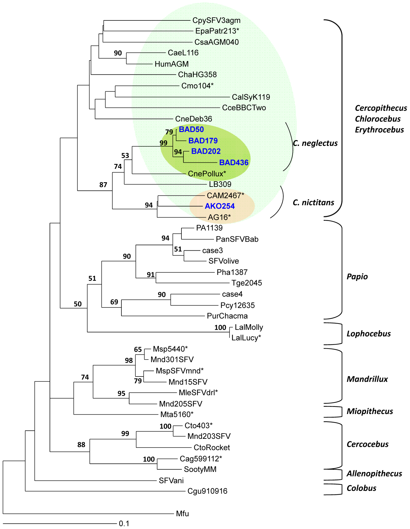 Rooted phylogenetic tree generated with consensus sequences of 425 bp fragments of the SFV <i>pol</i>-In from monkeys-infected hunters and prototype old world non-human primates from the small monkeys' clades.