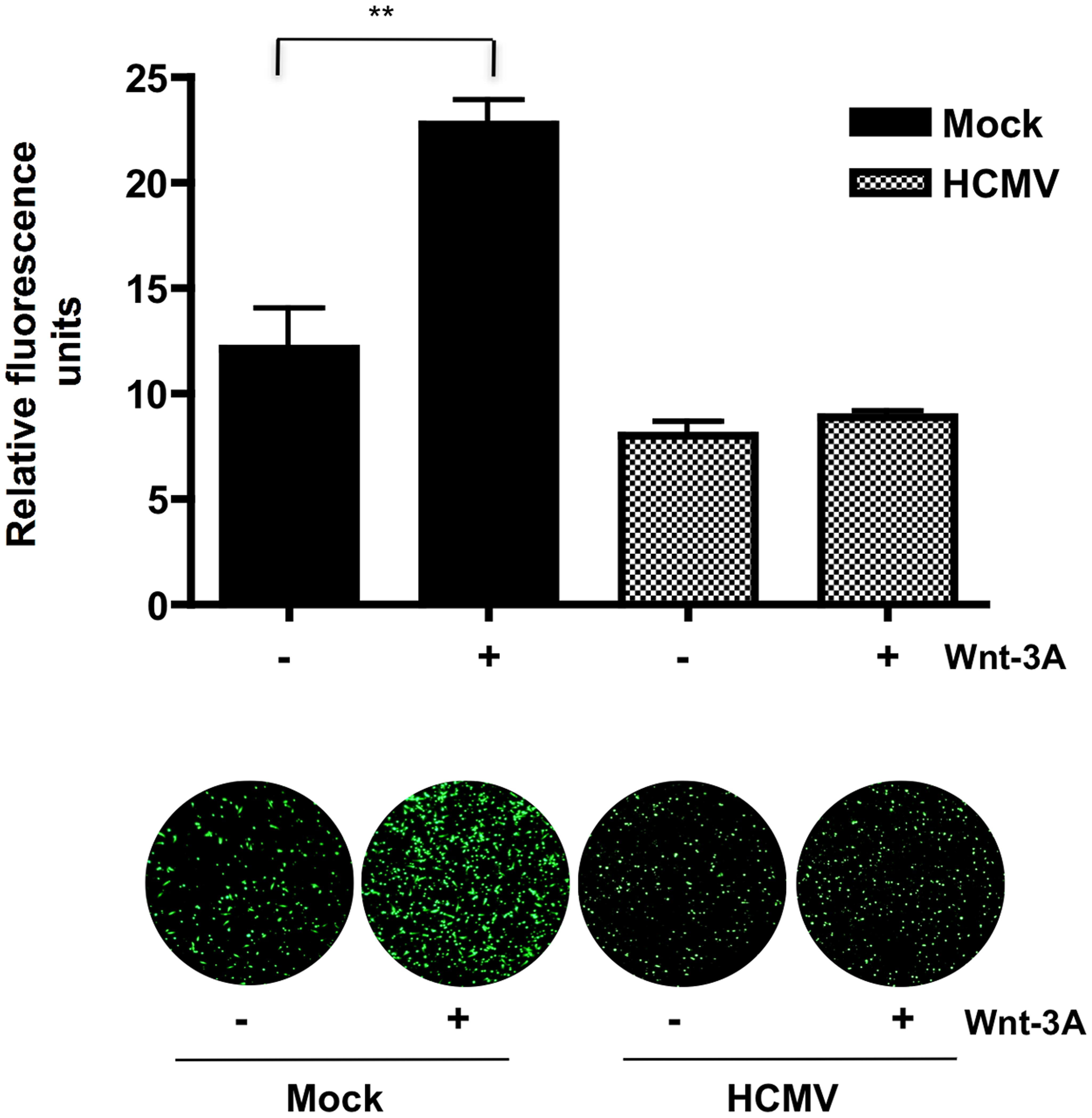 HCMV inhibits Wnt-3A-induced migration of SGHPL-4 EVTs.