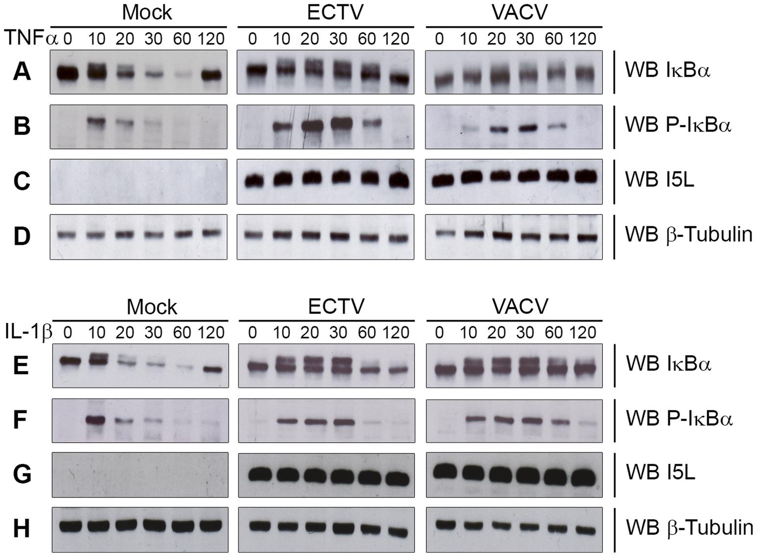 ECTV infection inhibits IκBα degradation.