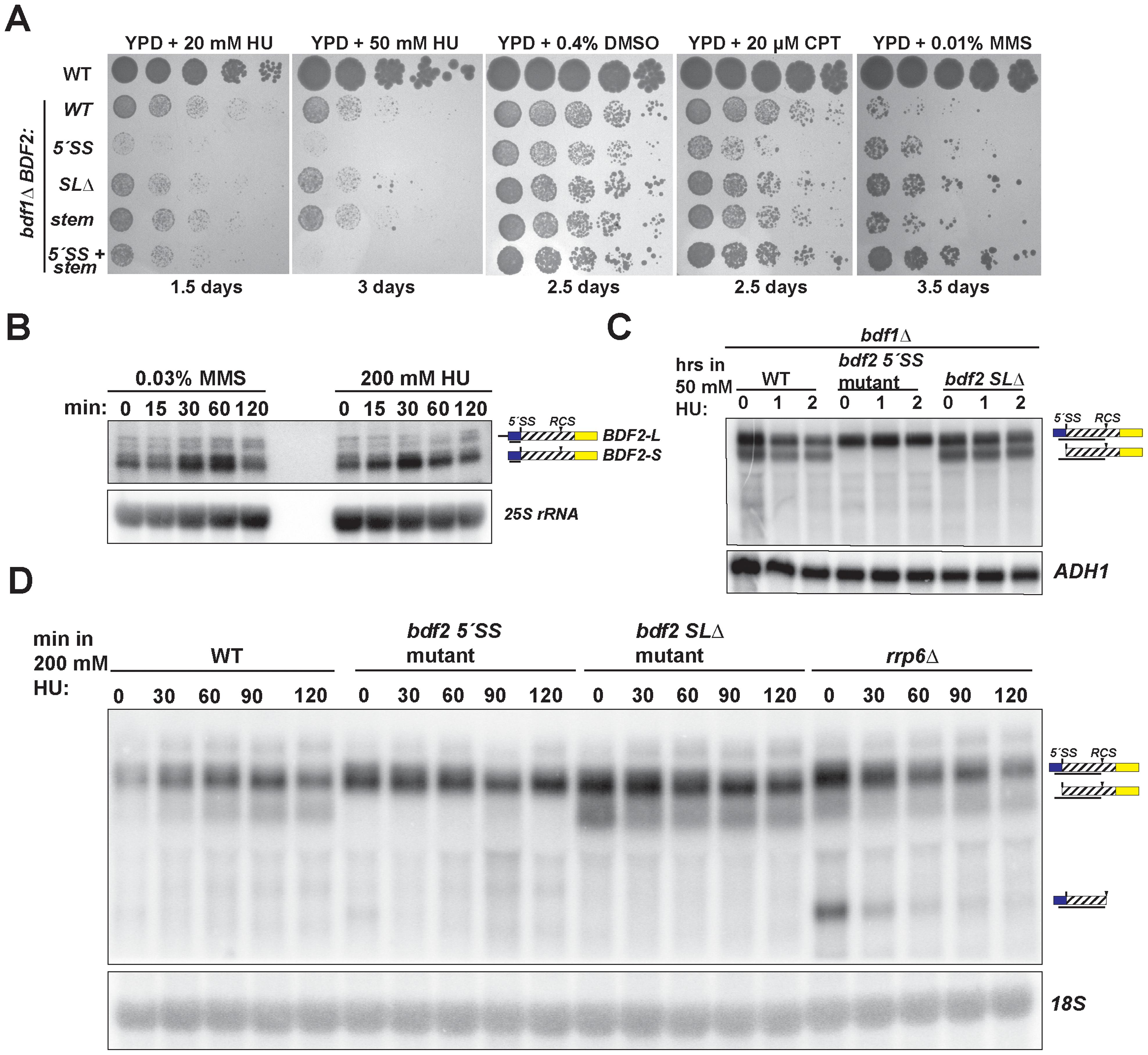 Spliceosome-mediated decay of <i>BDF2</i> mRNA predominates over Rnt1p cleavage during DNA replication stress.