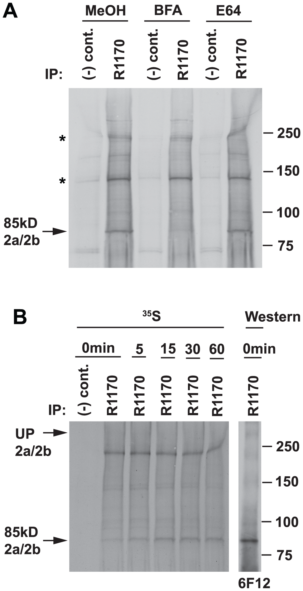 Processing of the 85 kDa fragment is brefeldin A-sensitive.