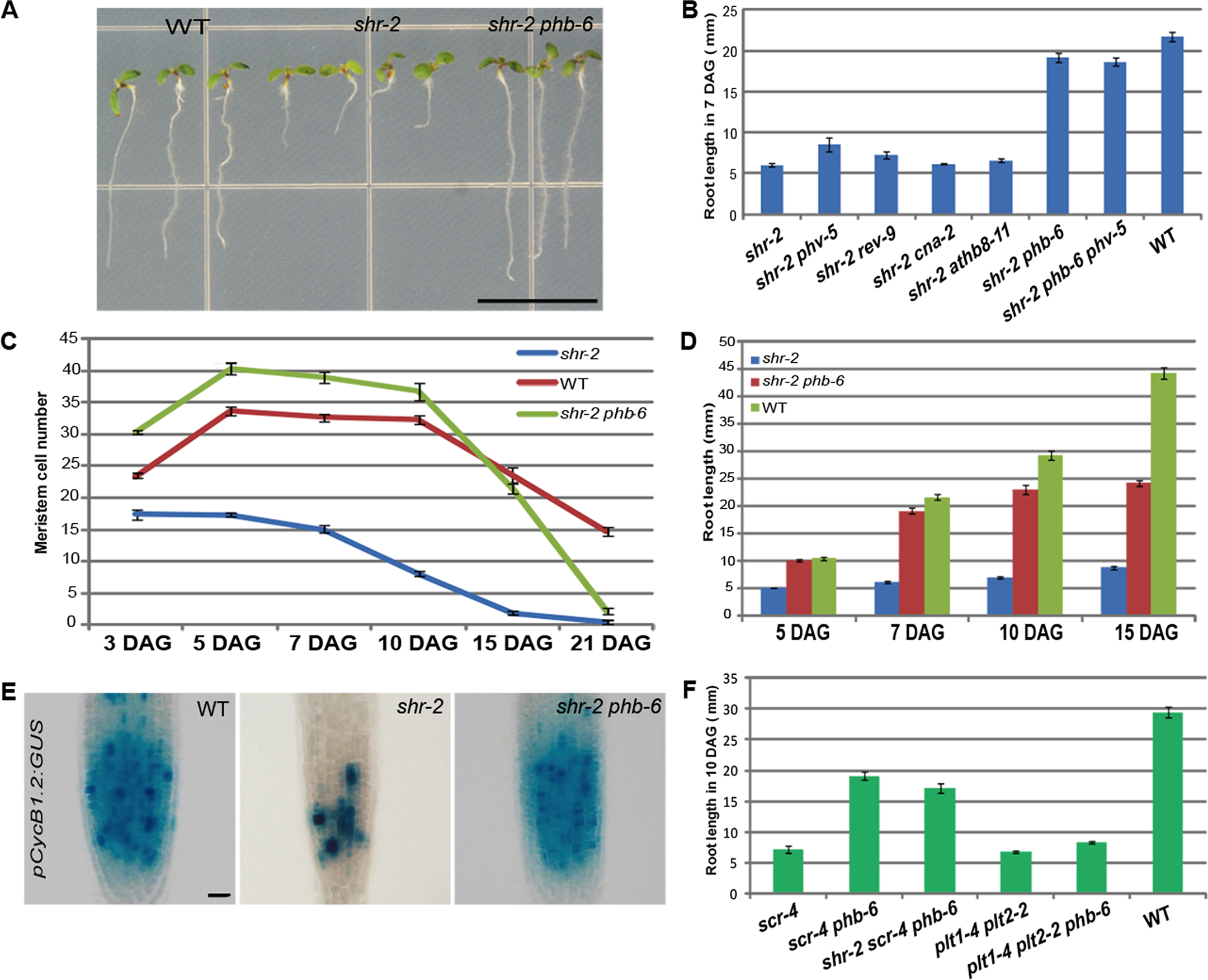 PHB regulates root meristem activity downstream of SHR-SCR.