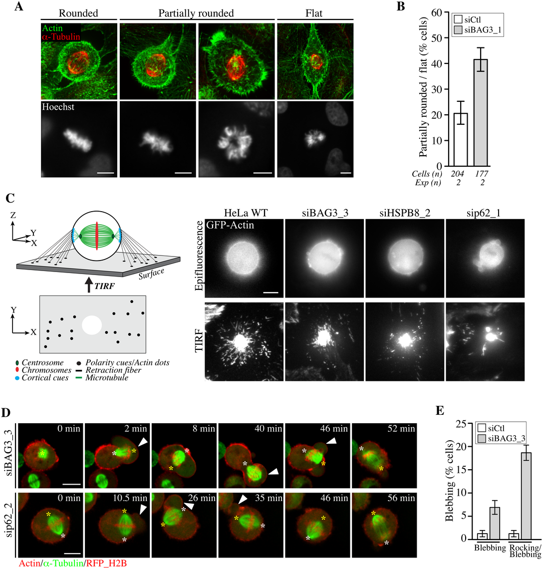 BAG3, HSPB8 and p62 regulate remodeling of mitotic F-actin structures.