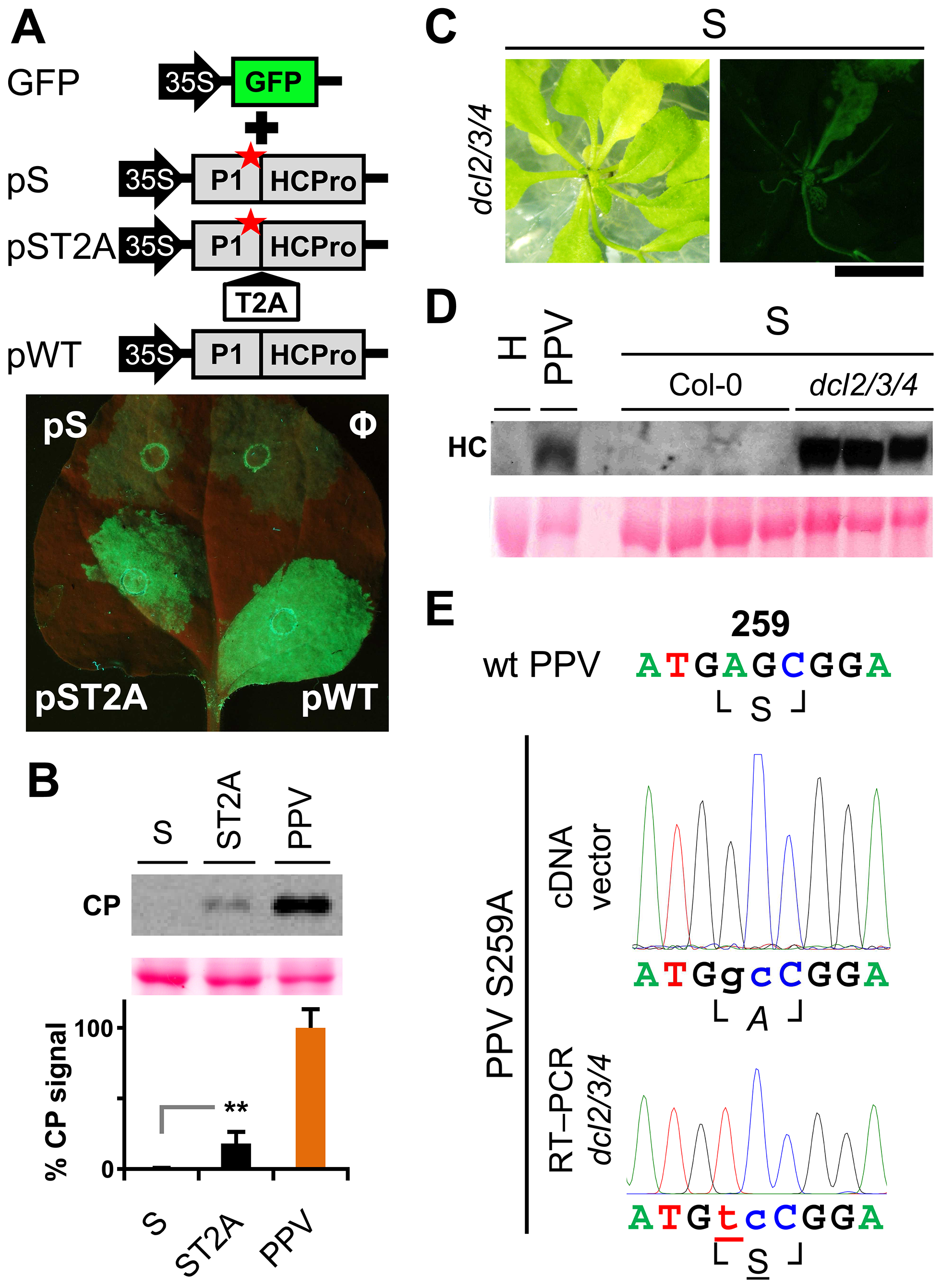 RNA silencing suppression is impaired by the lack of separation between P1 and HCPro.