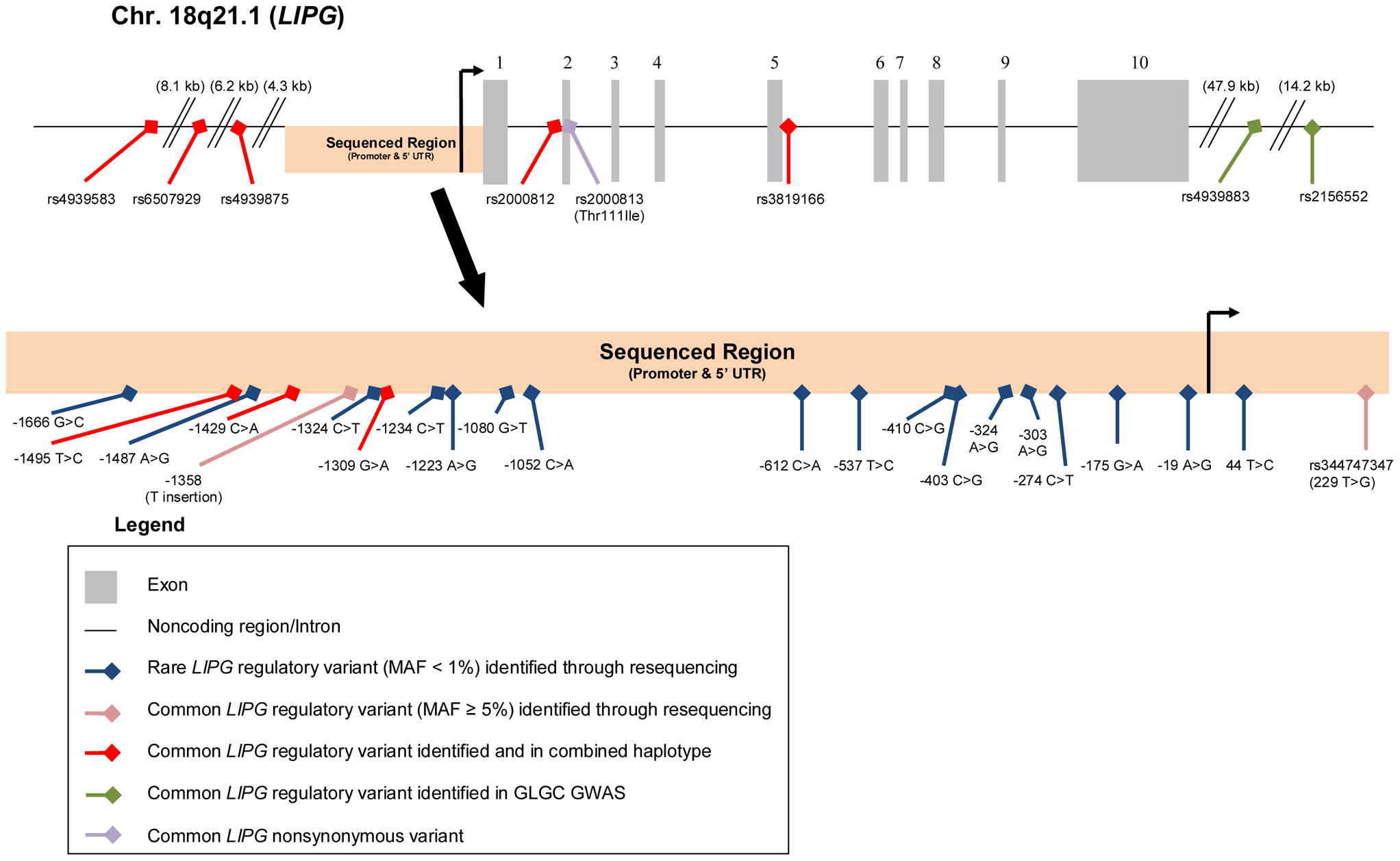 Rare and common <i>LIPG</i> regulatory variants studied.