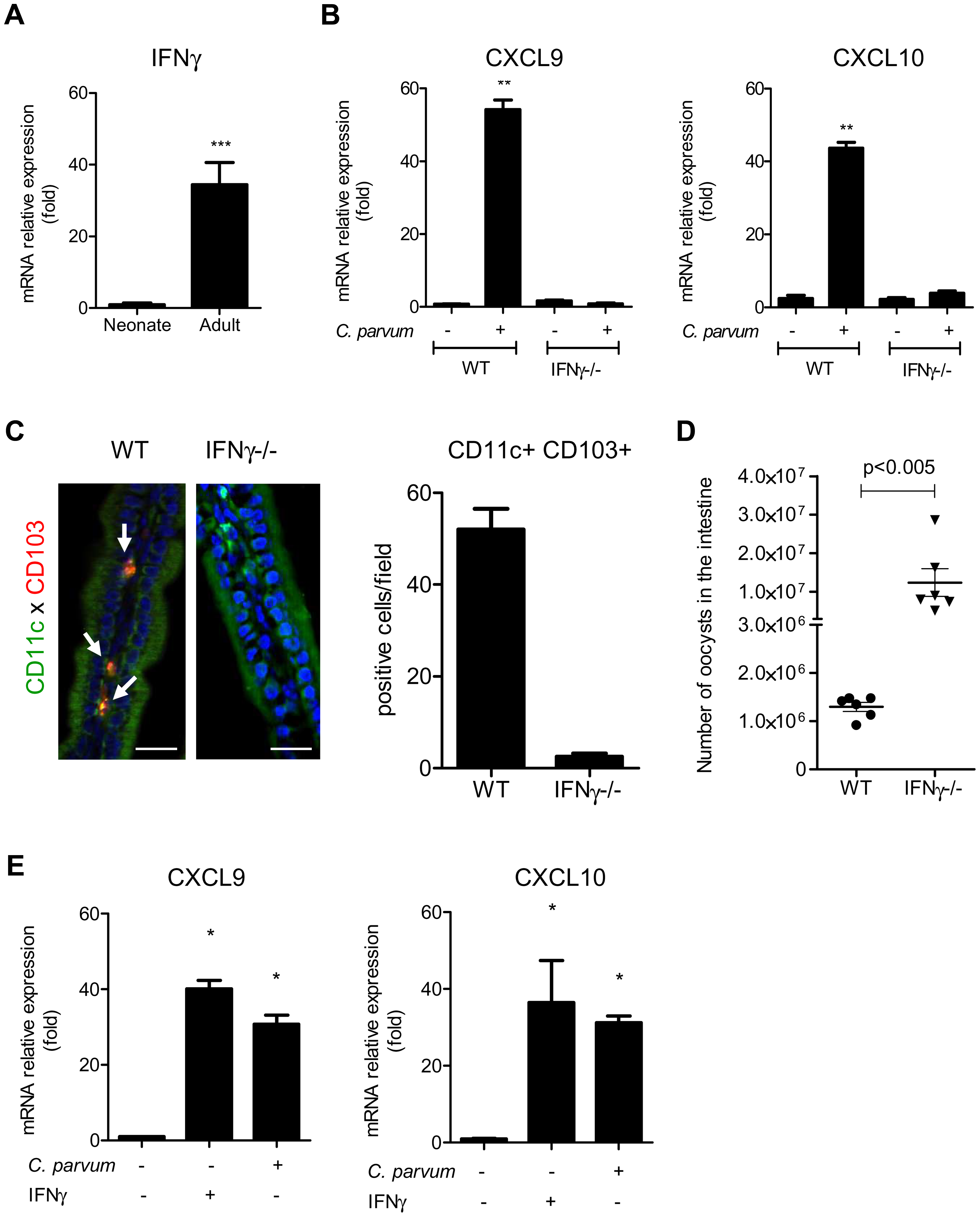 IFNγ plays a key role in the recruitment of CD103+DC during infection.