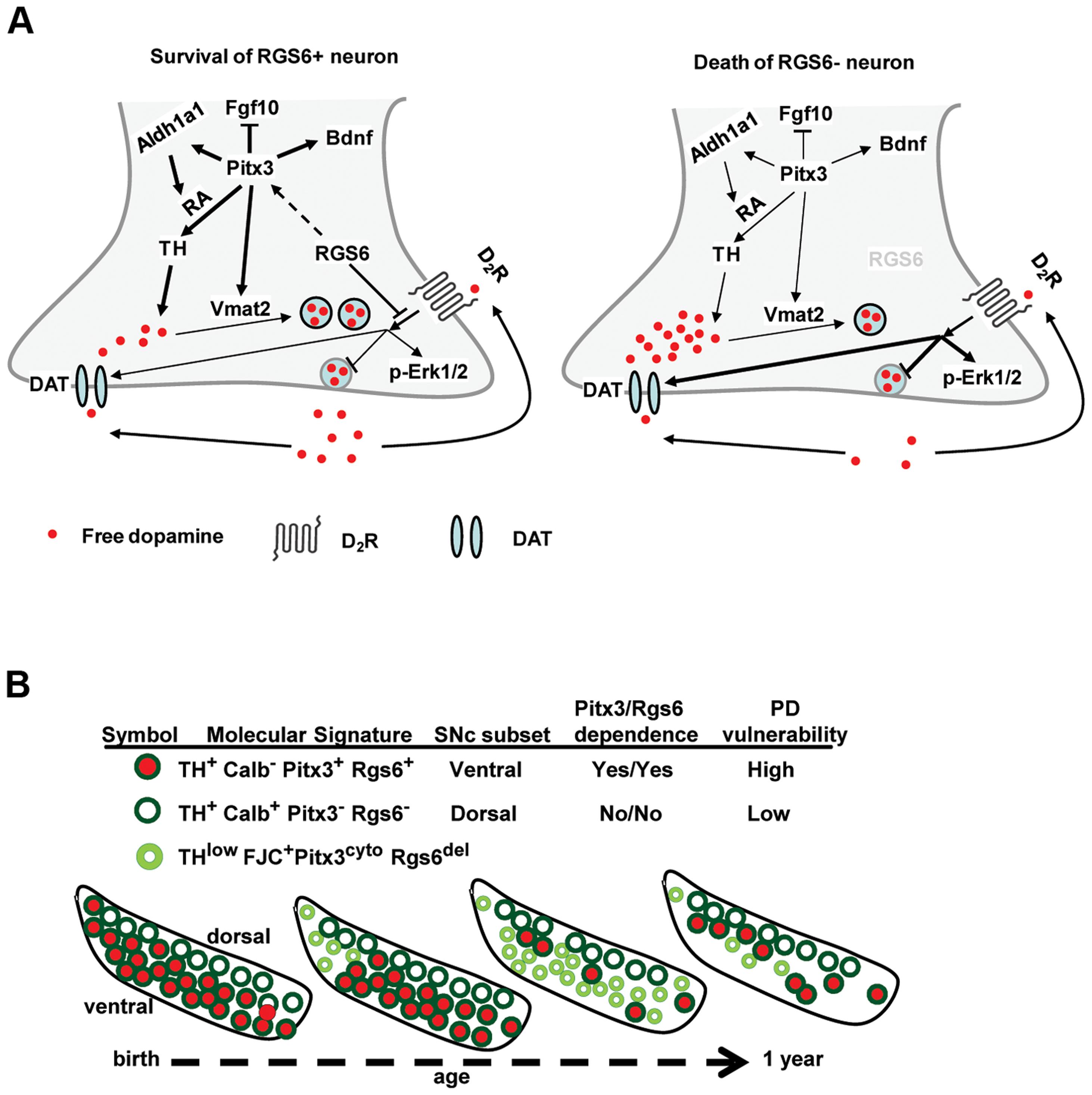 <i>Rgs6−/−</i> mice as a model for Parkinsonian neurodegeneration.