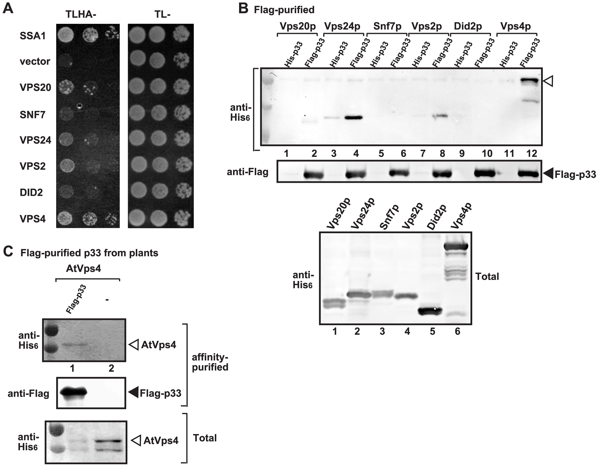 Interaction between p33 replication protein and Vps4p AAA+ ATPase and ESCRT-III proteins.