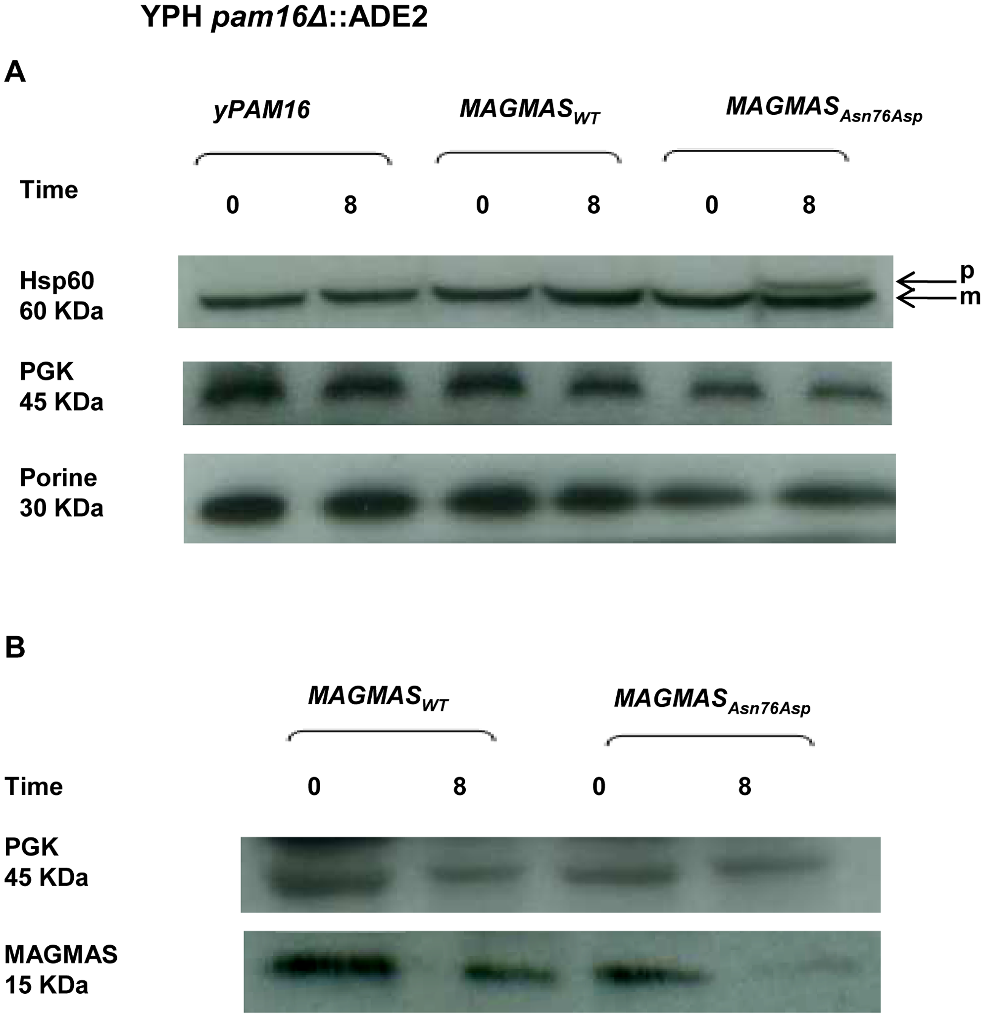 Preprotein translocation and MAGMAS expression analyses in yeast cells.