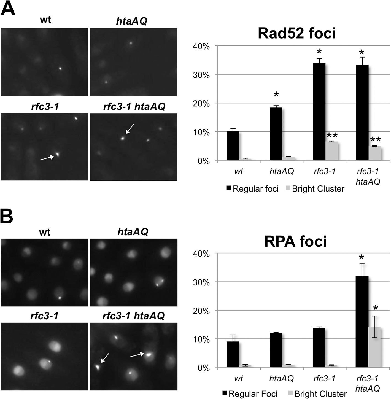 Loss of γH2A increases RPA foci in <i>rfc3-1</i> cells.