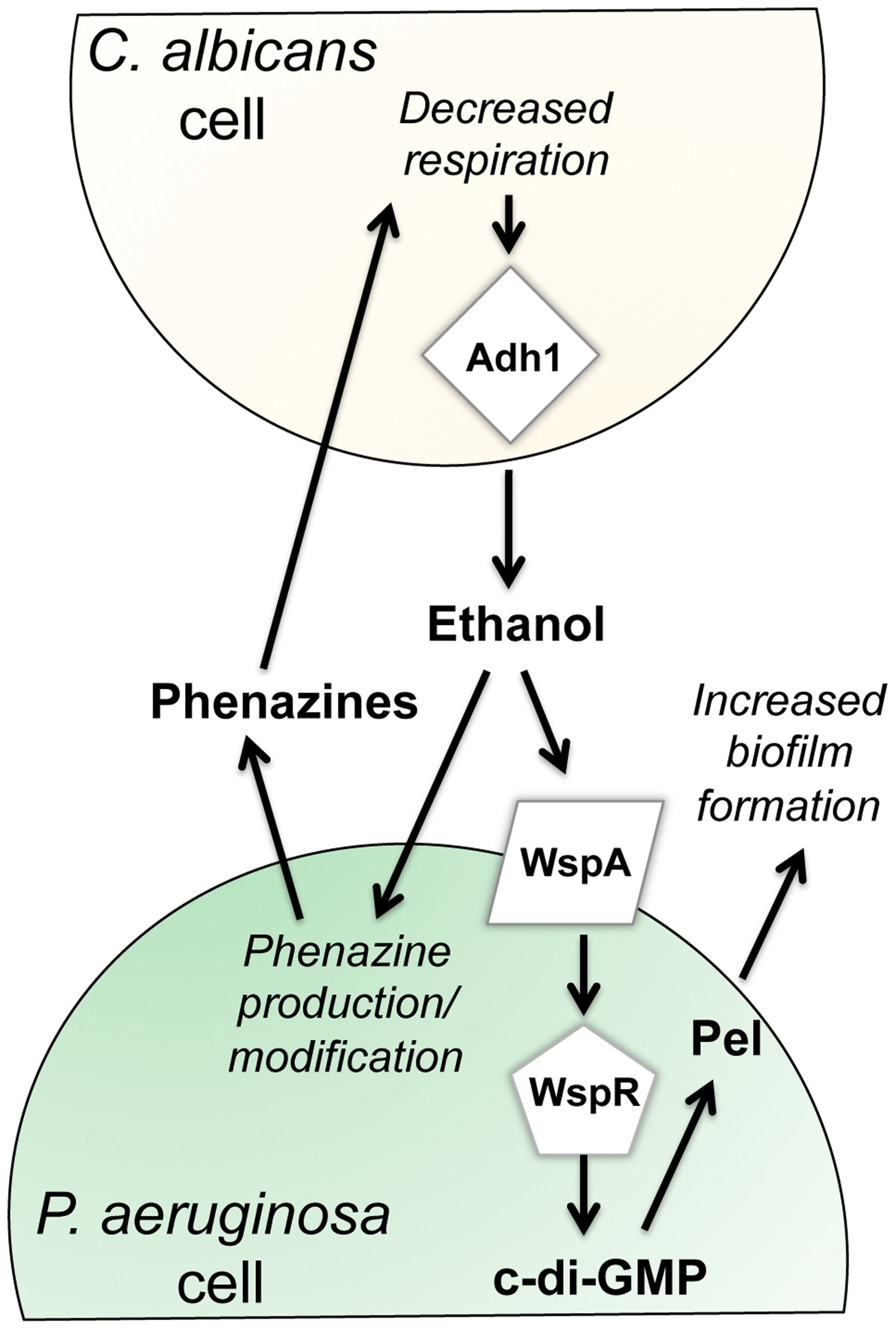 Our proposed model for the impacts of fungally-produced ethanol on <i>P. aeruginosa</i> behaviors.