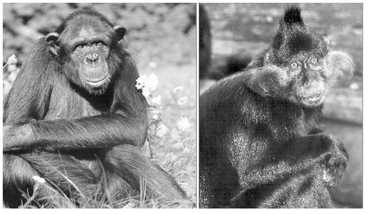 Obr. 5. Bezpříznakoví nosiči HIV u opic ze Subsaharské Afriky – HIV-1: Šimpanz učenlivý (respektive poddruh <em>Pan troglodytes troglodytes</em>), HIV-2: Mangabej černý (<em>Cercocebus aterrimus</em>)  Fig. 5. Asymptomatic HIV carriers, non-human primates from sub-Saharan Africa  HIV-1: Central common chimpanzee (<em>Pan troglodytes troglodytes</em>)  HIV-2: Black mangabey (<em>Cercocebus aterrimus</em>)