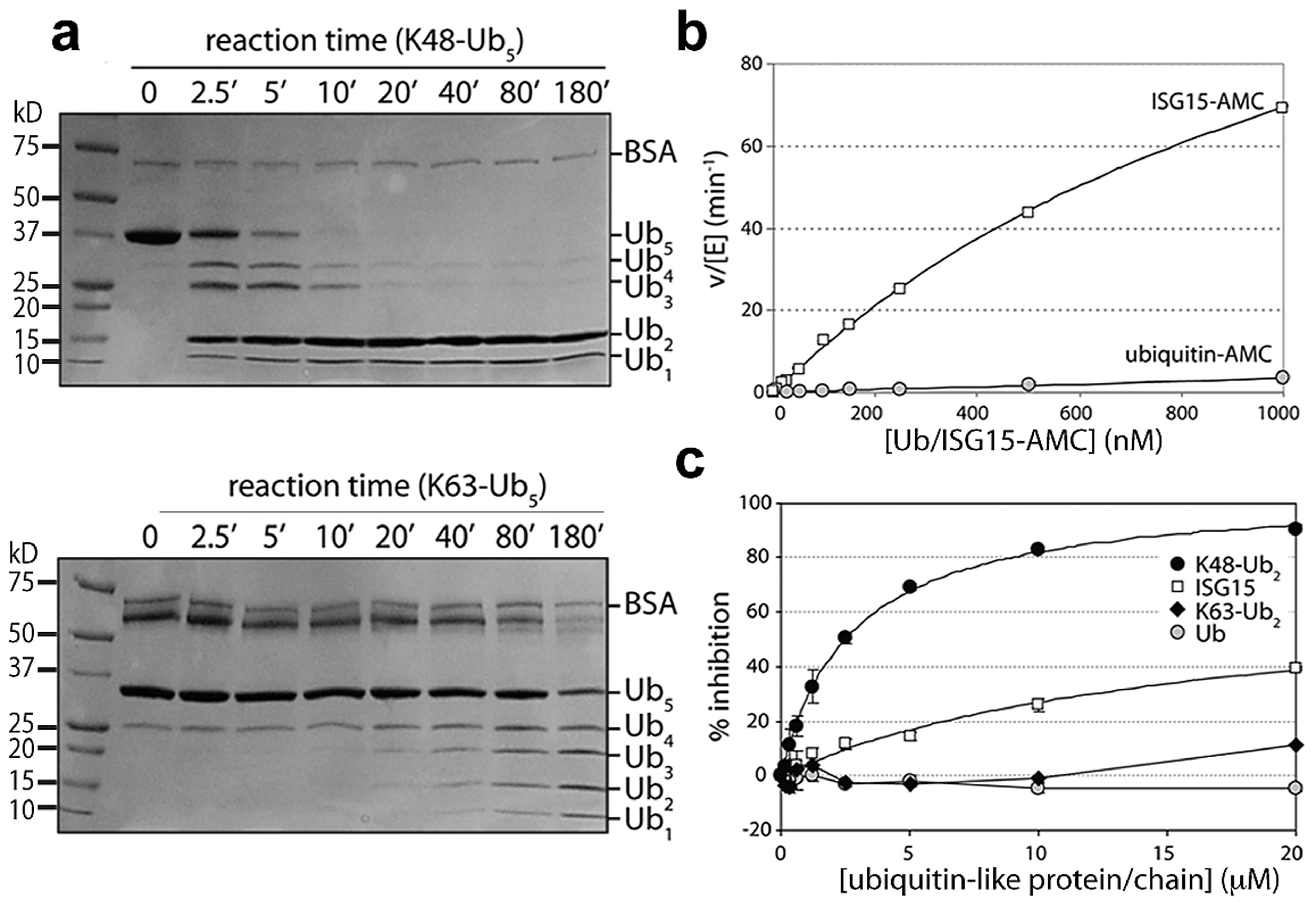PLpro prefers K48-linked ubiquitin to K63-linked ubiquitin and ISG15 to mono-ubiquitin.