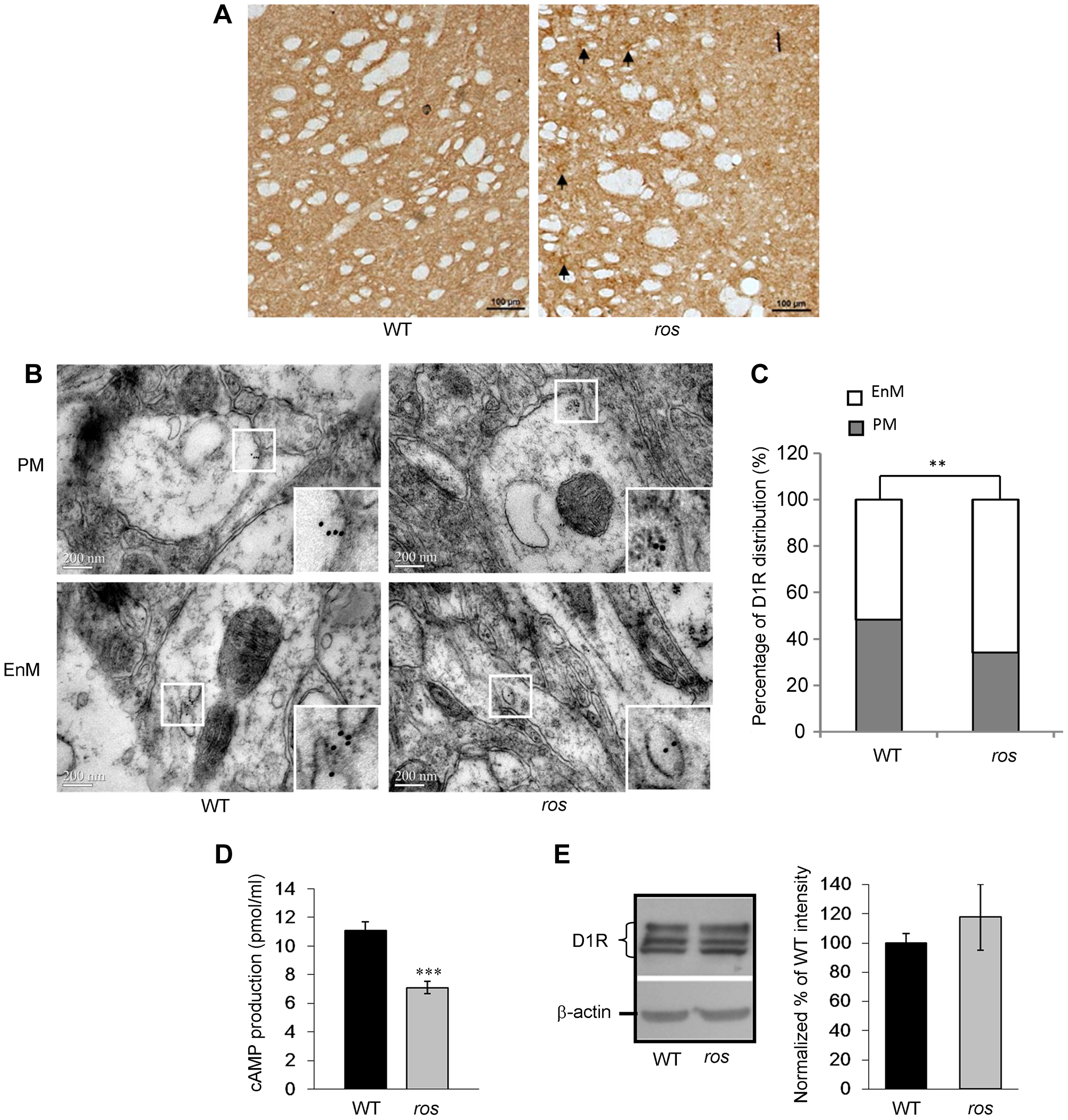 Plasma membrane D1R and its signaling are reduced in <i>ros</i> striatonigral neurons.