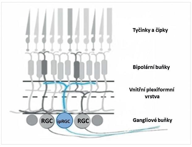 Schematické znázornění vrstev sítnice a vnitřně fotosenzitivních gangliových buněk sítnice (ipRGC)