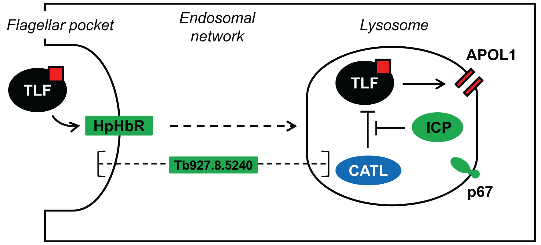 Model showing the proposed interactions among ICP, CATL and TLF.