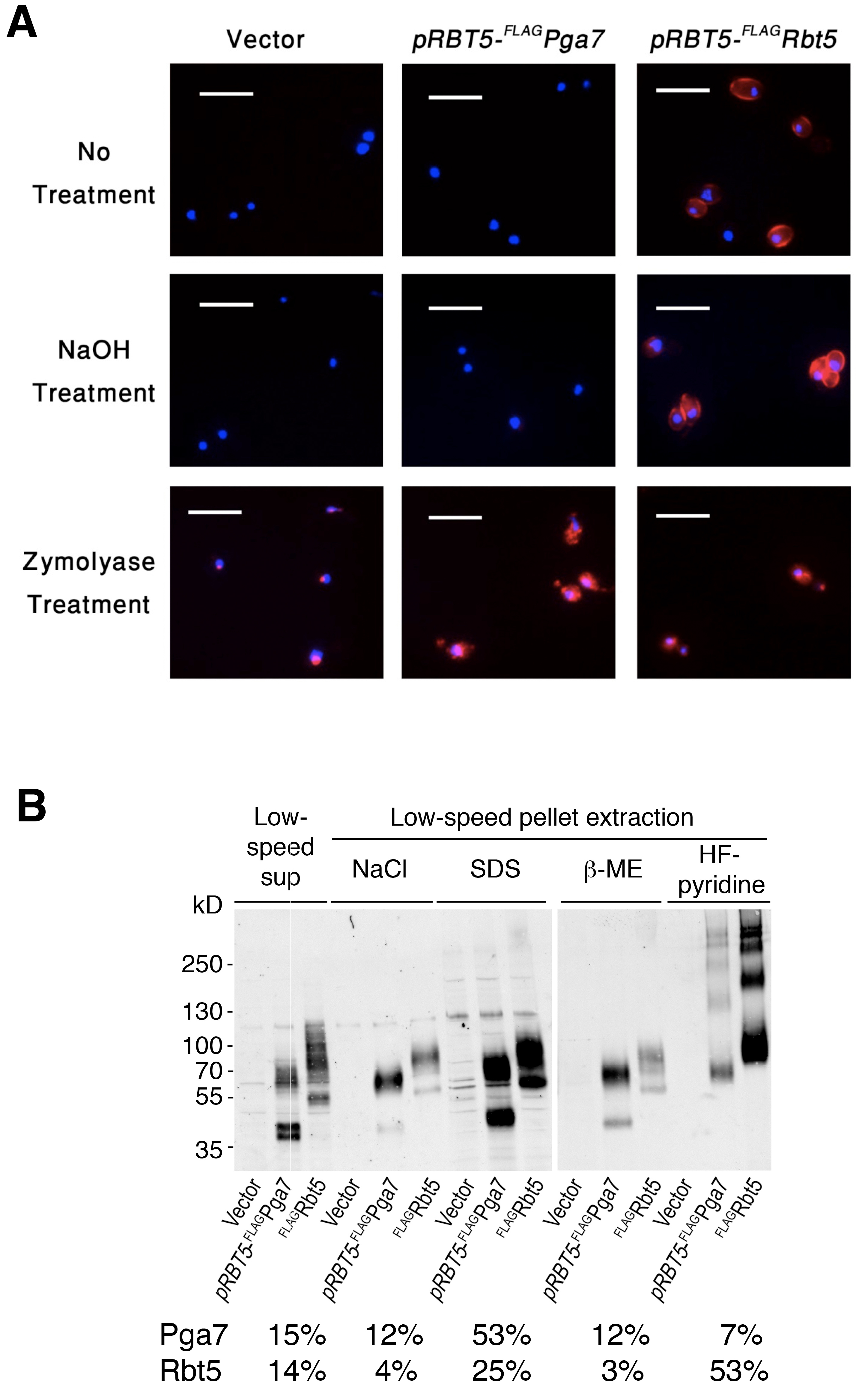 Different localization of Pga7 and Rbt5 expressed at similar levels.