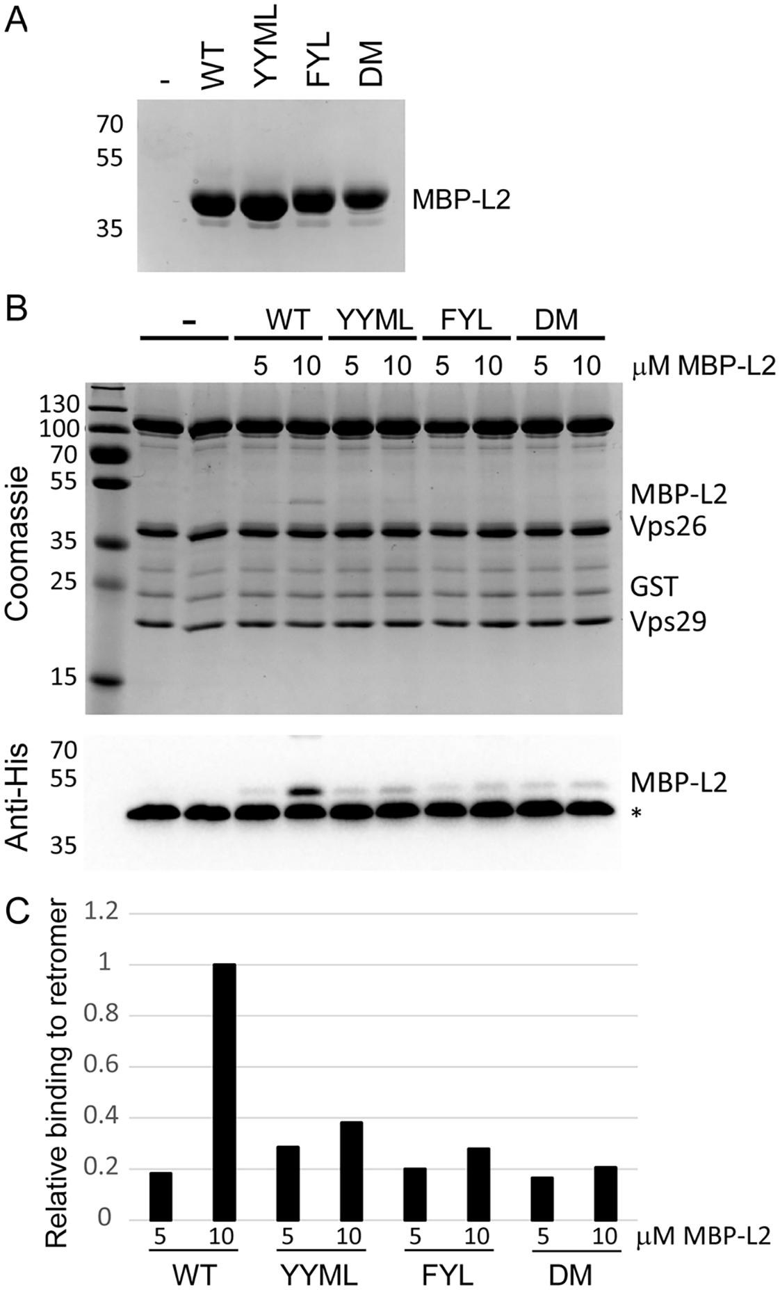 L2 retromer motifs mediate direct binding to retromer.