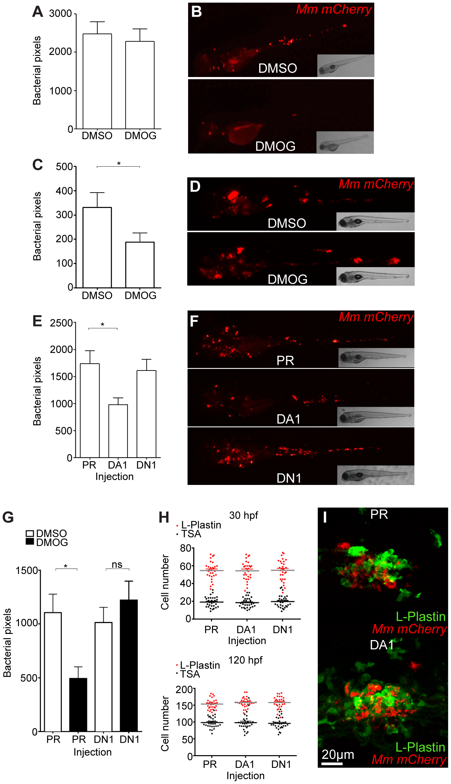 Stabilization of Hif-1α at early stages of infection leads to a decrease in bacterial burden.