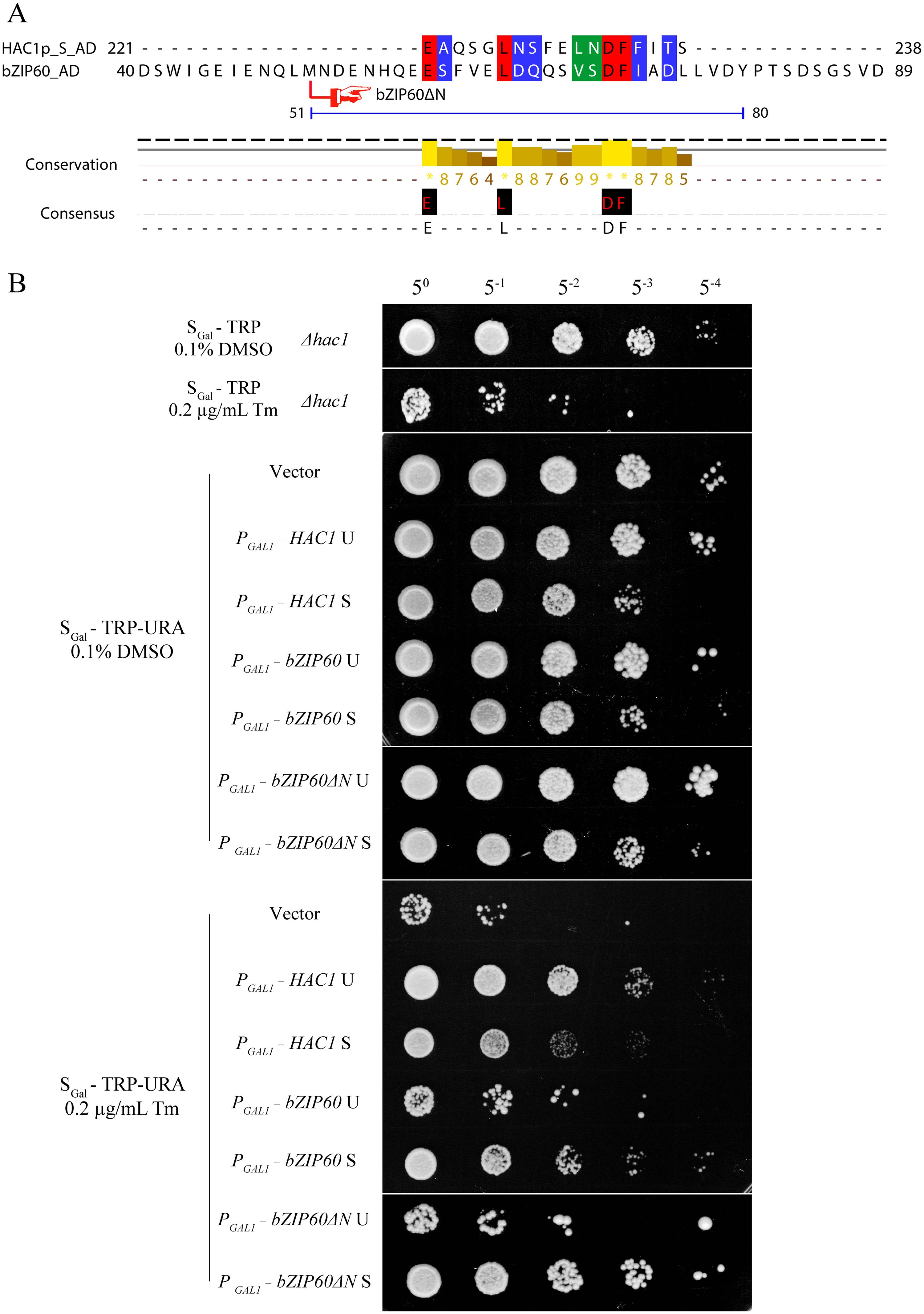 Either bZIP60 S or bZIP60ΔN S can rescue <i>HAC1</i>-deficient yeast under ER stress.