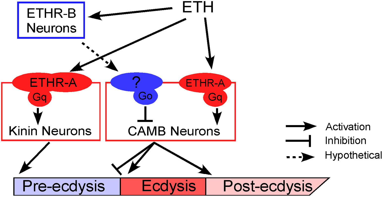 A model depicting functional roles of kinin and CAMB neurons in scheduling of the ecdysis FAP.