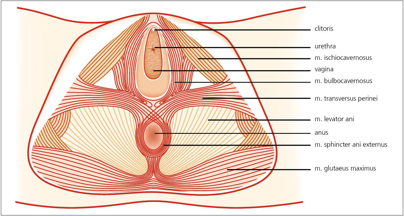 Čtvrtá vrstva svalů pánevního dna – zevní genitální svaly. Autor děkuje MgA. Marianě Marešové za poskytnutí obrázku.