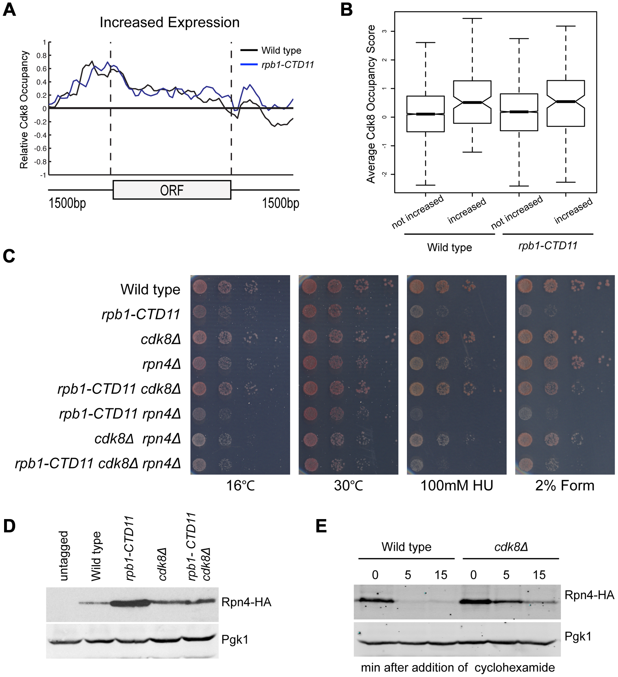 Regulation of Rpn4 levels partly mediated the suppression of <i>rpb1-CTD11</i> defects by loss of <i>CDK8</i>.
