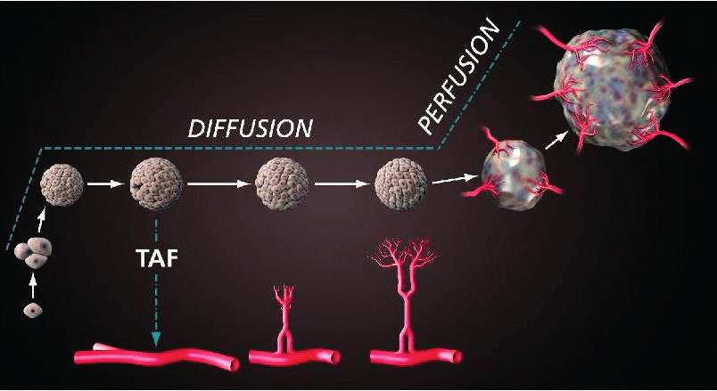 Proces angiogeneze (TAF – tumor angiogenesis factor, dnes VEGF); podle [5]