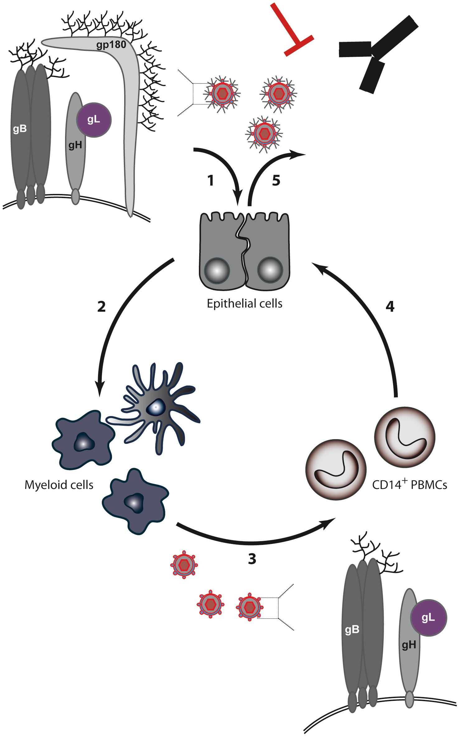 BoHV-4 model for switch of cell tropism through alternative splicing of the Bo10 gene.