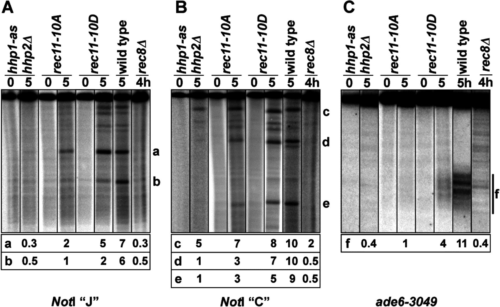 Meiotic DNA breakage in <i>hhp</i>, <i>rec11</i>, and <i>rec8</i> mutants.