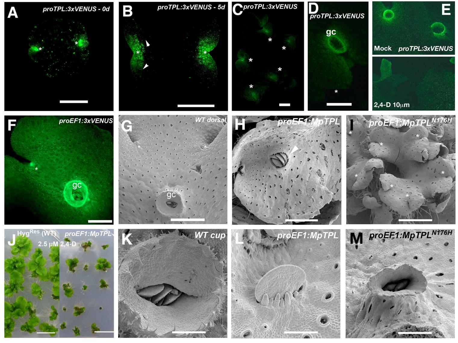 Developmental role of <i>MpTPL</i> in <i>M</i>. <i>polymorpha</i>.