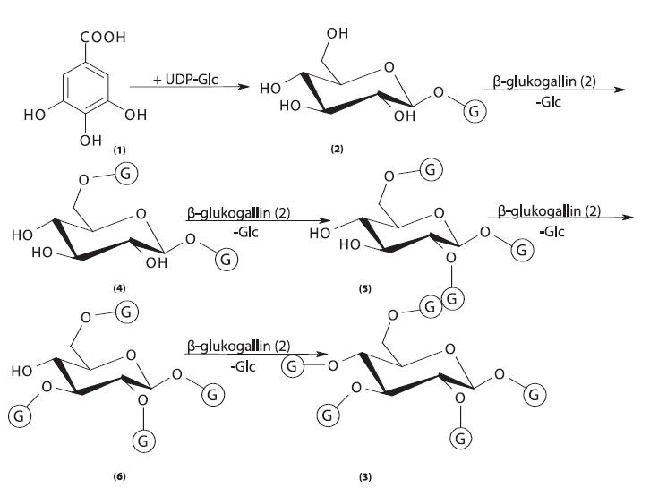 Biosyntéza gallotaninů I 1 – kyselina gallová, 2 – 1-O-galloyl-ß-D-glukopyranosa (ß-glukogallin), 3 – 1,2,3,4,6-penta-O-galloyl-ß-D-glukopyranosa, 4 – 1,6-di-O-galloyl-ß-D-glukopyranosa, 5 – 1,2,6-tri-O-galloyl-ß-D-glukopyranosa, 6 – 1,2,3,6-tetra-O-galloyl-ß-D-glukopyranosa, G – galloyl