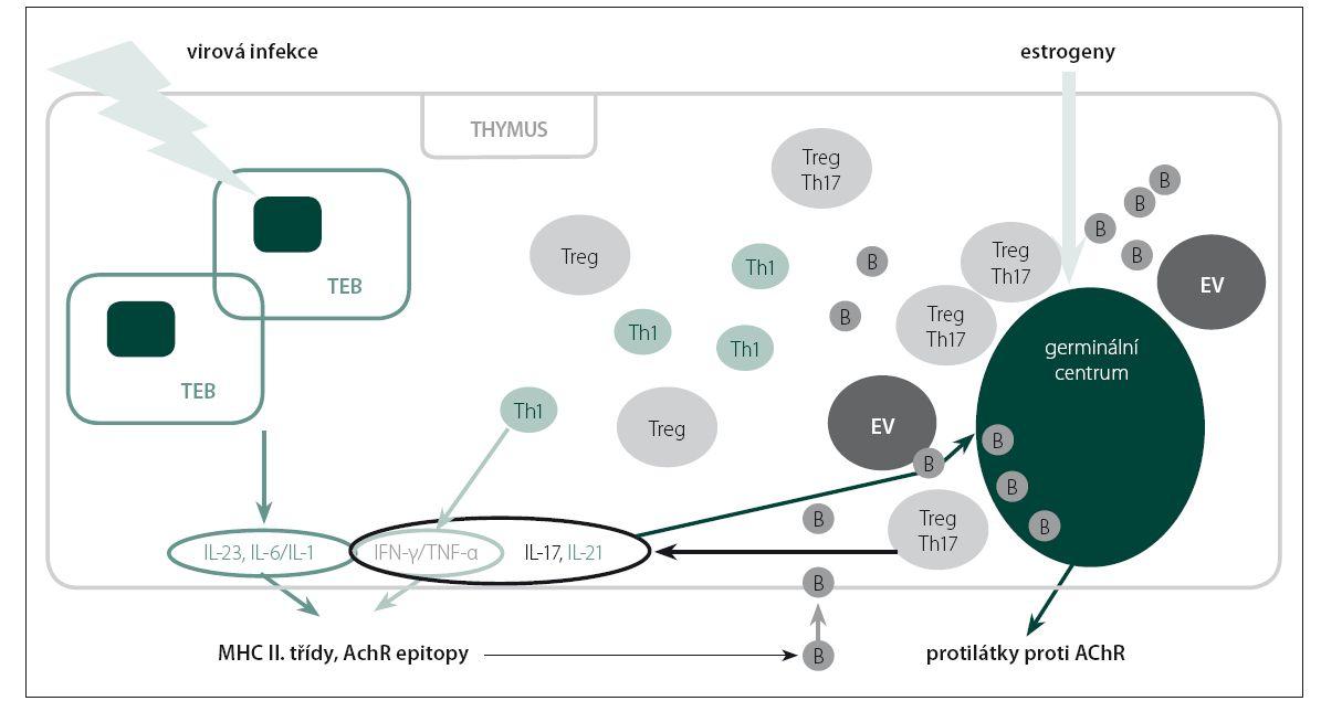 Schéma 1. Účast thymu, subpopulací lymfocytů a cytokinů na imunopatogenezi MG.