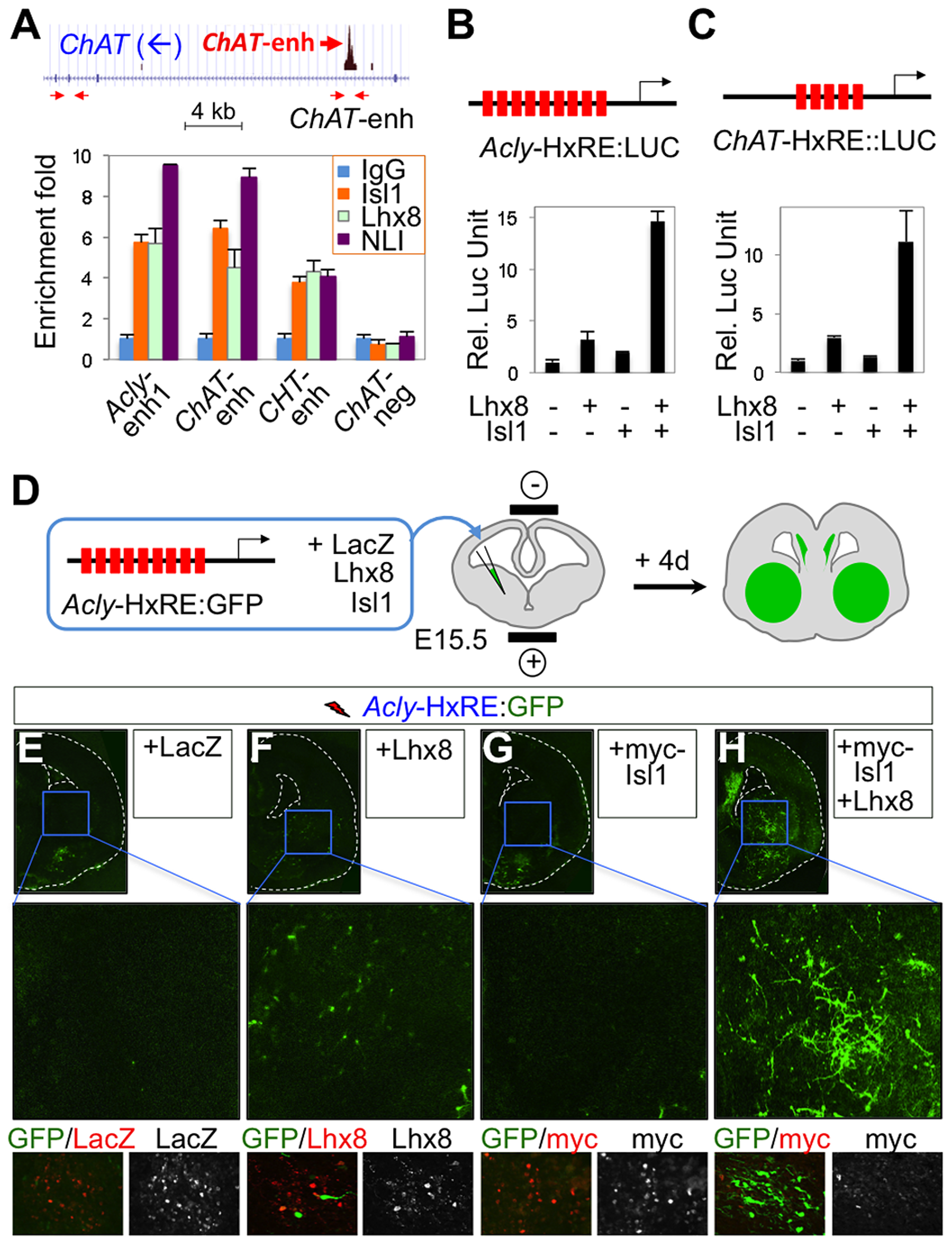 The Isl1-Lhx8-hexamer activates the cholinergic genes.