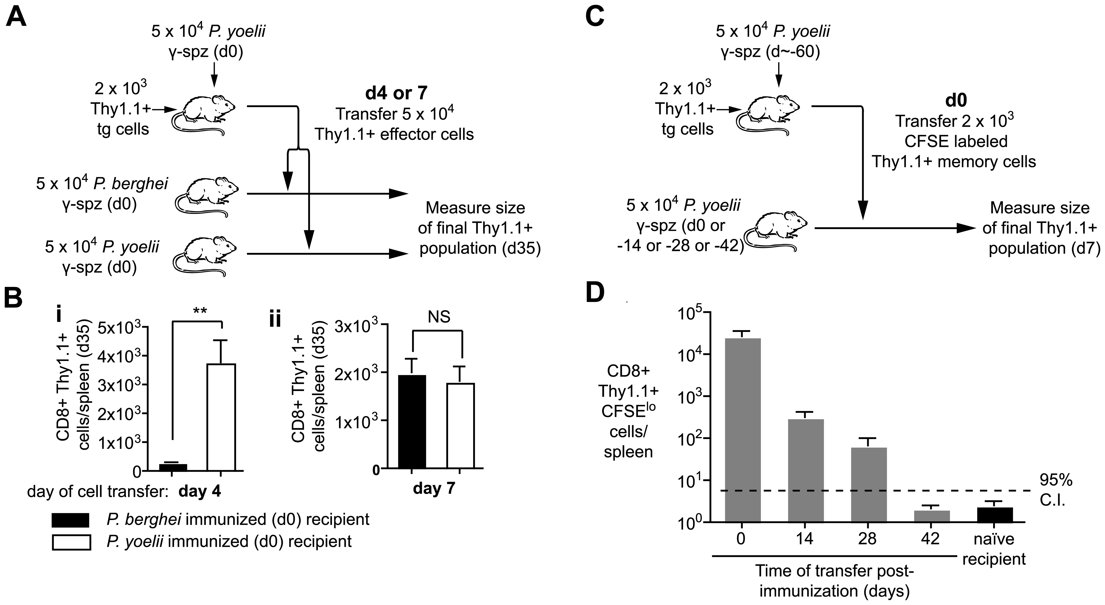 Prolonged antigen presentation is required for optimal CD8+ memory formation.
