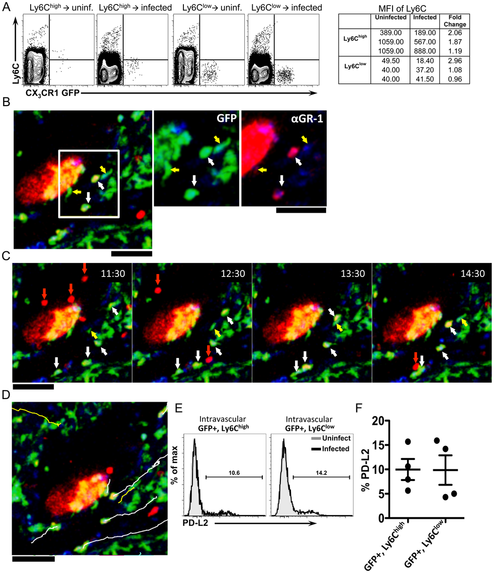 Ly6C<sup>high</sup> monocytes reduce Ly6C expression, exhibit crawling behavior, and upregulate markers of alternative activation after infection.