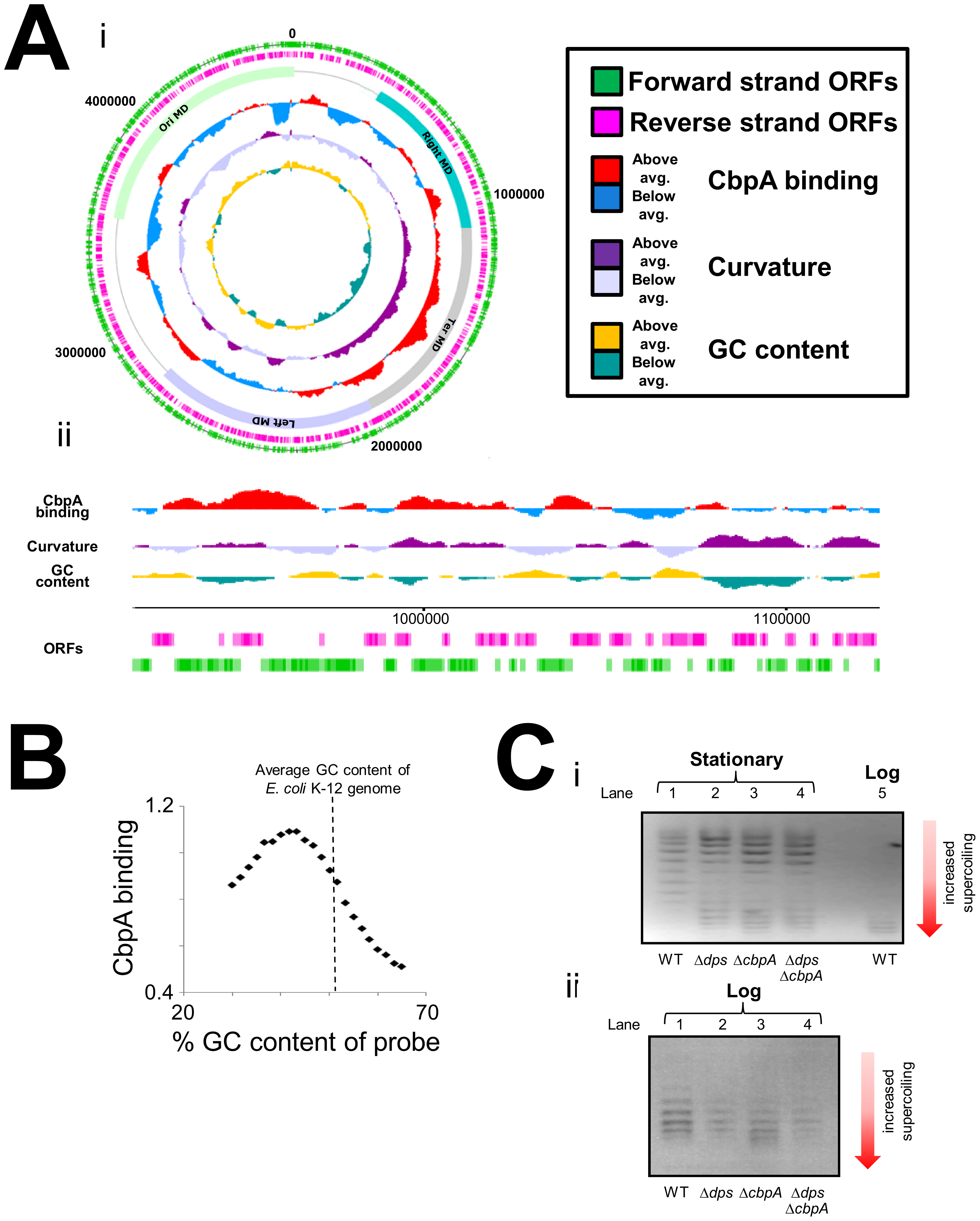 Chromosome-wide distribution of CbpA in starved <i>E. coli</i>.