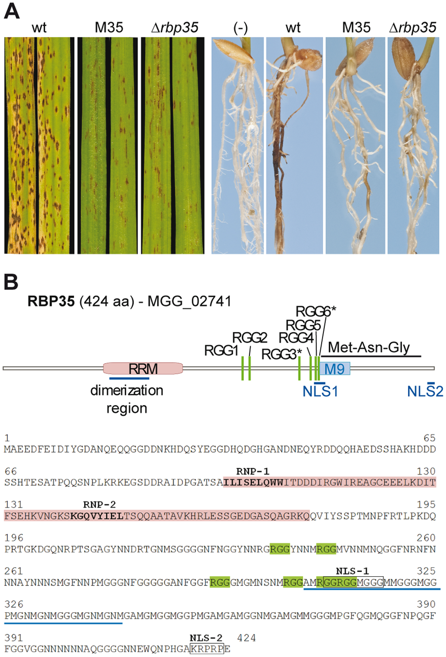 RBP35 is an RRM protein involved in fungal virulence.