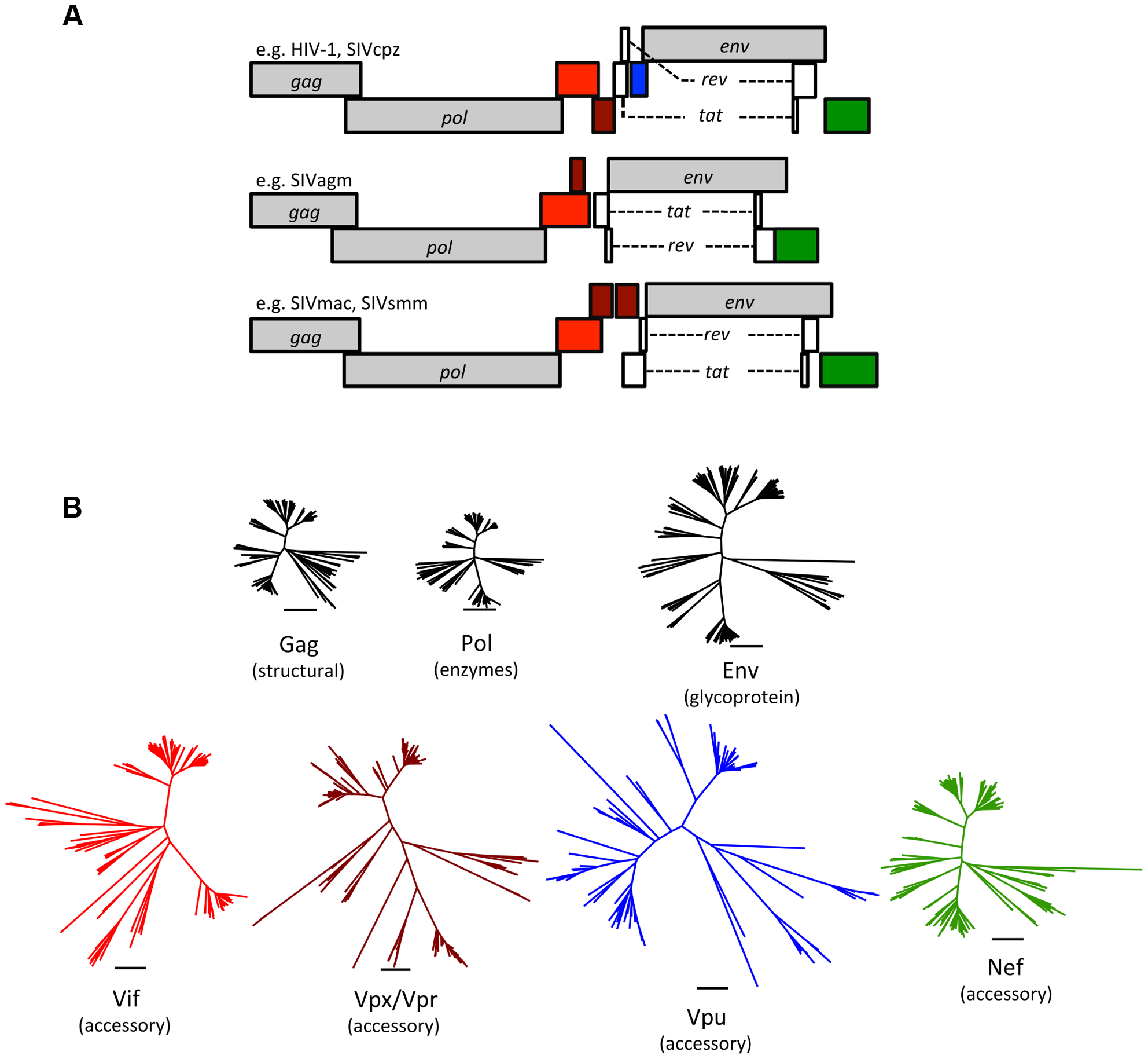Accessory proteins are the most diverse of the primate lentivirus proteins.