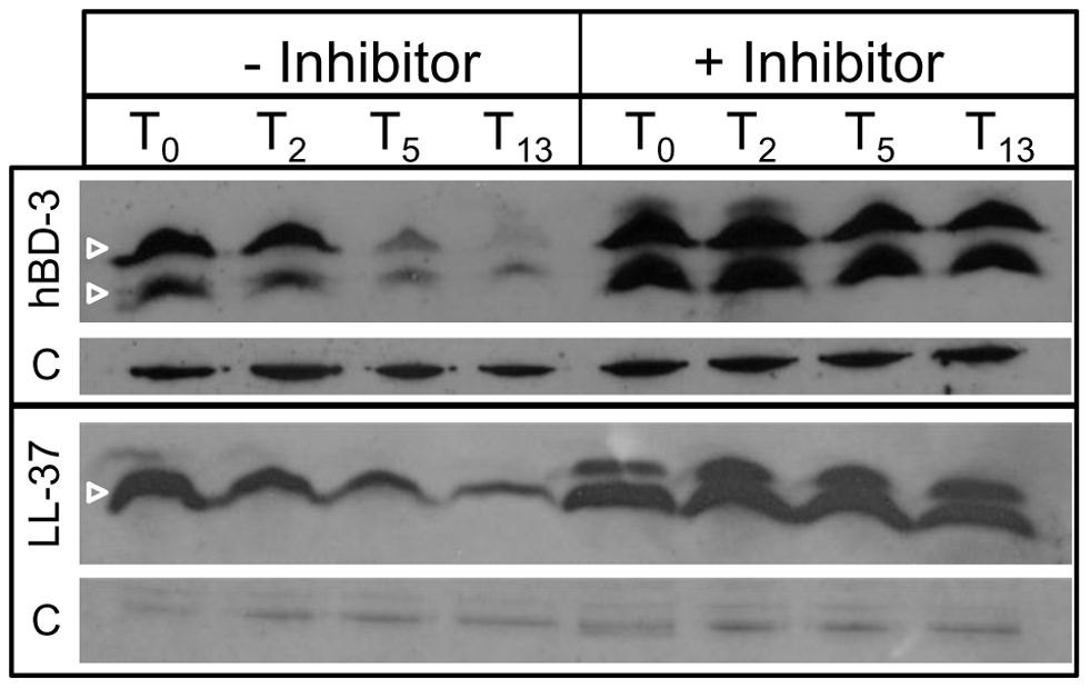 Degradation of AMPs by cytoplasmic peptidase activity.