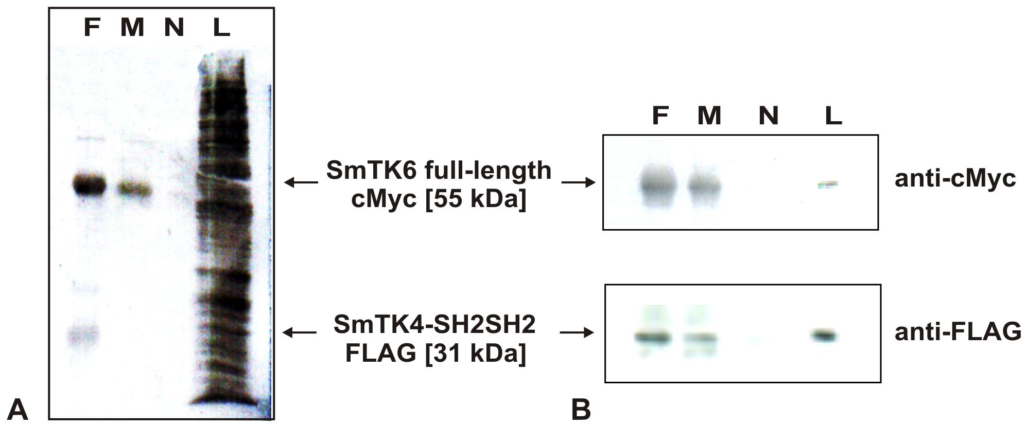 Co-immunoprecipitation of SmTK4 and SmTK6.