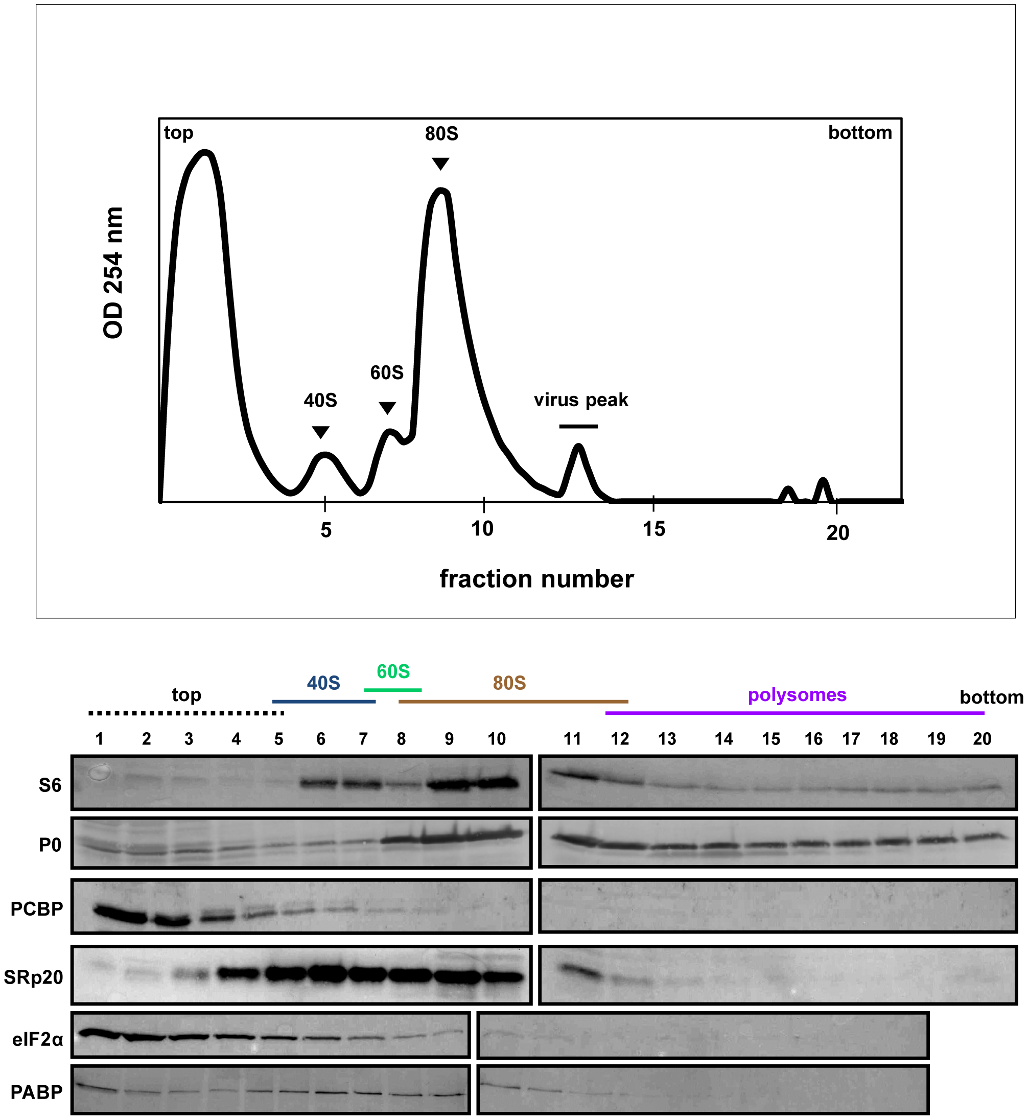 SRp20 and PCBP2 co-sedimentation with 40S ribosomal subunits in poliovirus-infected cells (5 hr post-infection).