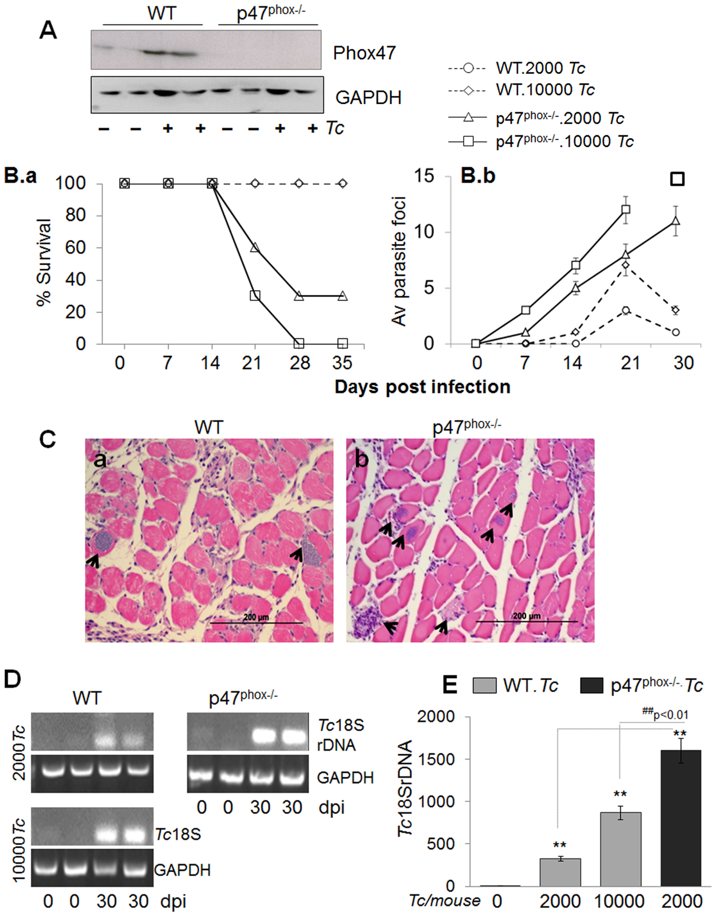p47<sup>phox−/−</sup> mice are susceptible to <i>T. cruzi</i> infection and exhibit increased mortality and parasite burden.