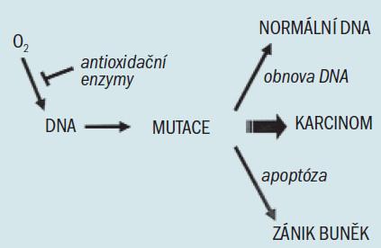 Zjednodušený model účinku buněčné obrany proti oxidačnímu stresu. Reakční kyslík, zobrazený jako volný radikál kyslíku (O<sub>2</sub>), se může vázat na DNA a způsobovat mutace. Defekty buněčných obranných mechanizmů (zahrnujících antioxidační enzymy, mechanizmy obnovy DNA a apoptózu) mohou umožnit akumulaci mutací, což vede ke vzniku karcinomu.