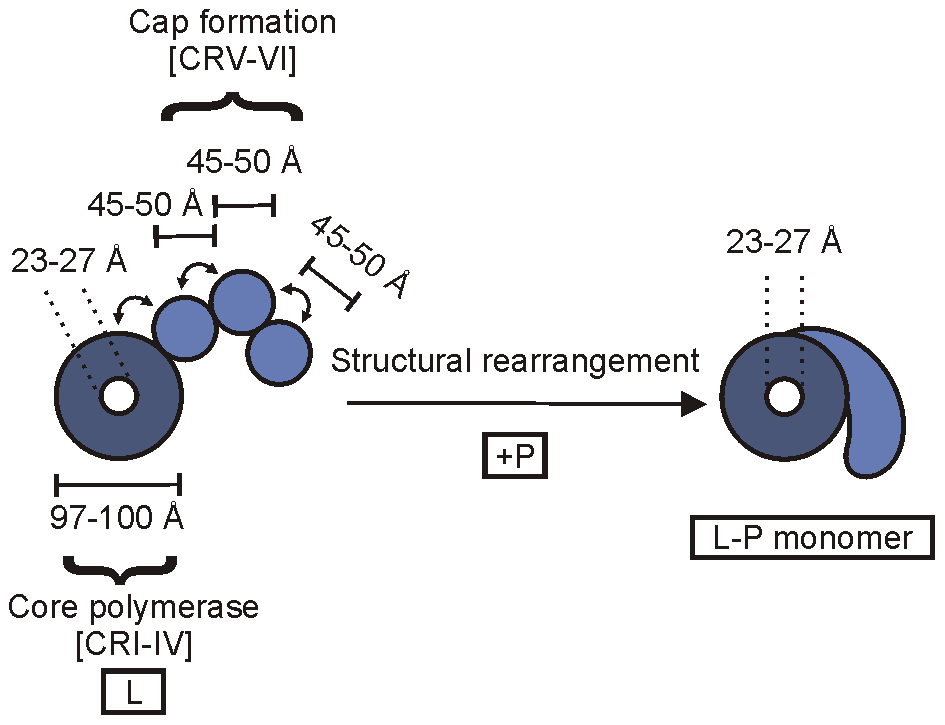 A schematic of the architecture of the VSV polymerase.