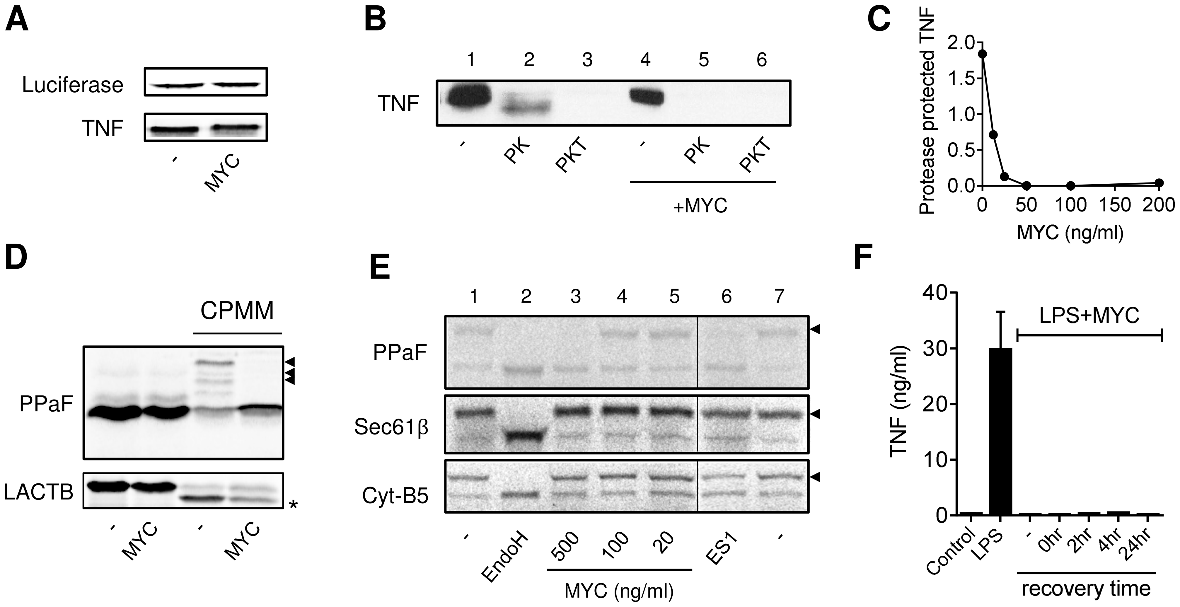 Mycolactone inhibits co-translational translocation of proteins into the ER via a mechanism that does not disrupt the structural integrity of the ER.