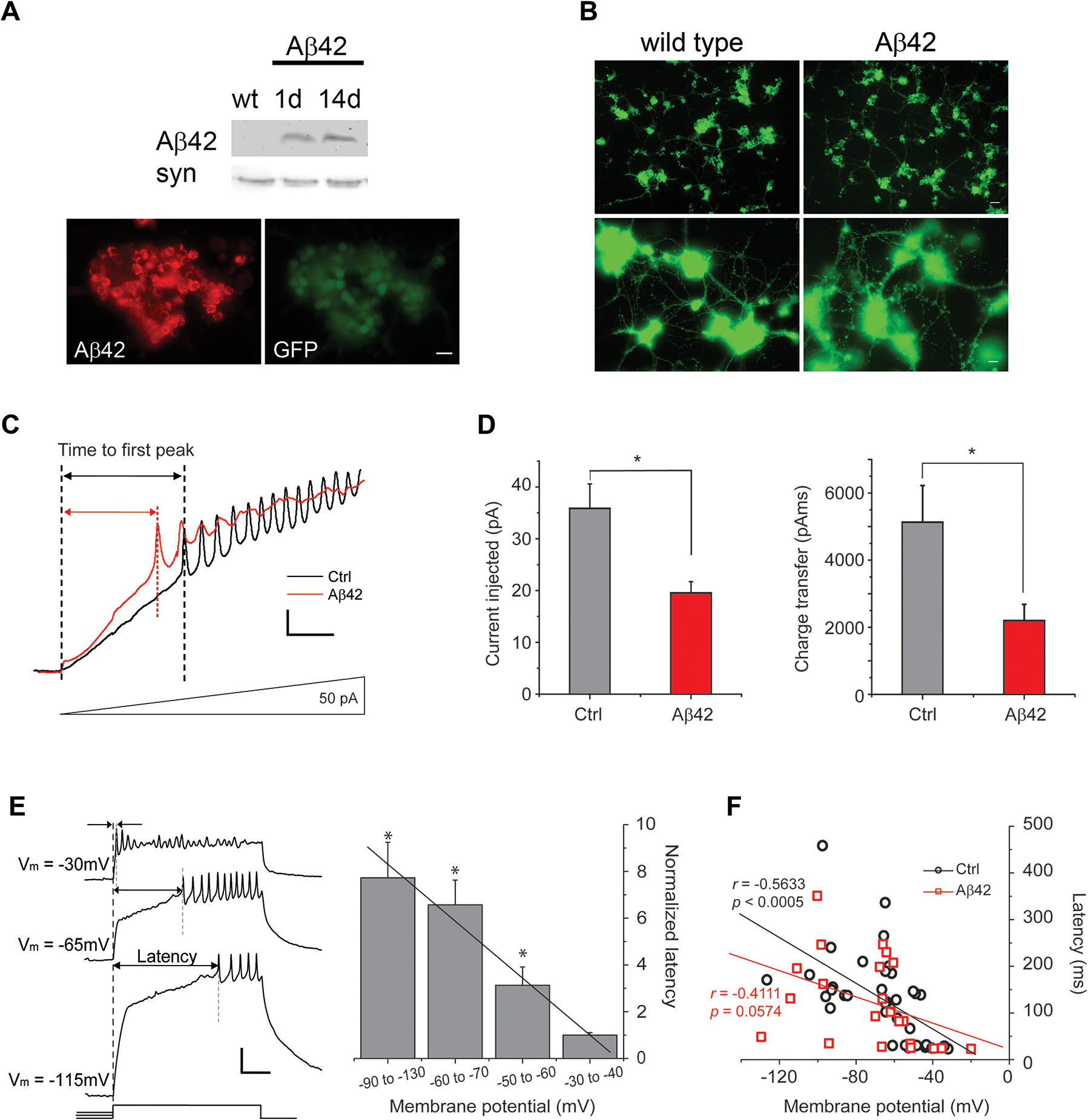 Aβ42 induces increased neuronal excitability in cultures 9 days old.