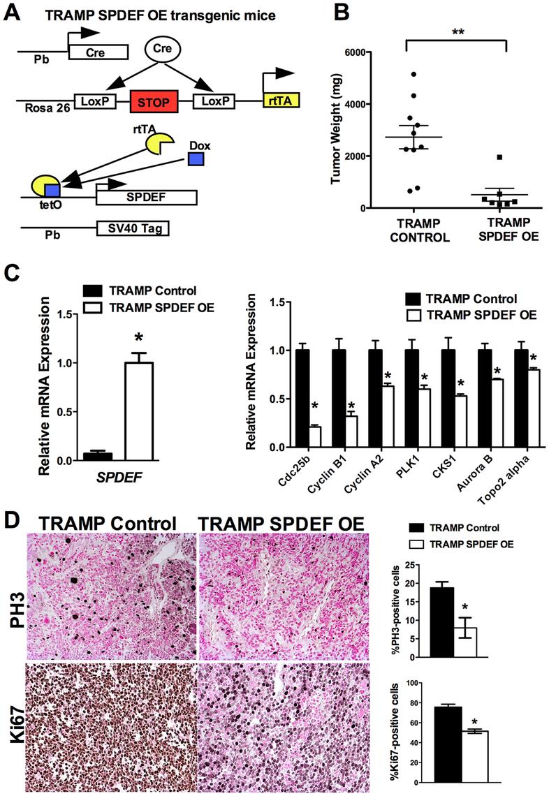 Transgenic expression of SPDEF in prostate epithelium decreased prostate carcinogenesis.